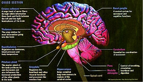 A look at sports medicine how the brain regulates behavior and body limbic system and other subcortical structures leaves out the nucleus accumbens they would be approximately in front the hypothalamus in this drawing ccuart Images
