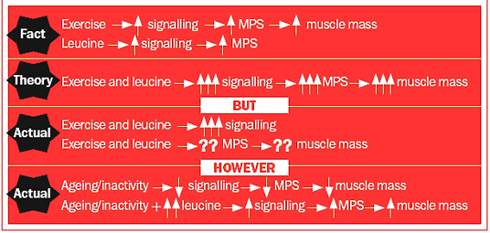 Summary of what is known and what is speculated about the mechanism by which BCCA-leucine (an amino acid) results in increased muscle protein synthesis and muscle mass in healthy, young adults and in the elderly and inactive. MPS=Muscle Protein Synthesis; ↑=increase; ↓=decrease