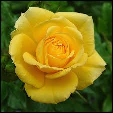 I looked for a picture of Washington beating us at something to illustrate how hard it is to live here. But no such pictures exist. Here is a pretty rose to look at.
